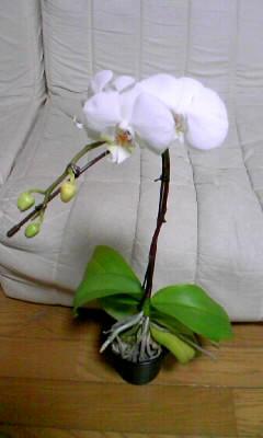 た 胡蝶 蘭 後 枯れ
